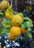 Limones maduros en árbol de limón en la Florida Fotos de archivo libres de regalías