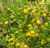 Limones maduros que cuelgan en un árbol Foto de archivo