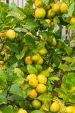 Limones maduros que cuelgan en un árbol Imagenes de archivo