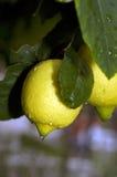 Limones mojados Imagenes de archivo