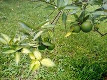 Limones no maduros en el árbol imagenes de archivo