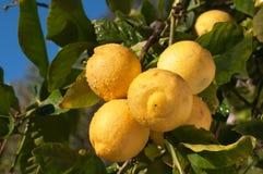 Limones orgánicos en sol en un árbol Foto de archivo