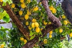 Limones que cuelgan en árbol de limón, en un jardín, en la costa de Amalfi fotografía de archivo libre de regalías