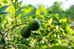 Limones verdes del vintage Imagenes de archivo