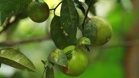 Limones verdes en el árbol almacen de video