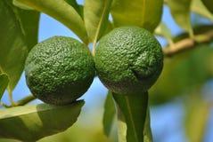 Limones verdes en un árbol Fotografía de archivo libre de regalías