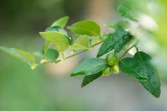 Limones verdes frescos fotografía de archivo