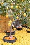 Árboles de limón Imágenes de archivo libres de regalías