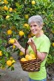 Limoni adulti di raccolto dall'albero fotografie stock libere da diritti