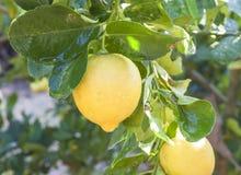 Limoni che appendono sull'albero di limoni Fotografie Stock Libere da Diritti