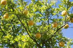 Limoni che crescono in un giardino a Perth, Australia occidentale Fotografie Stock Libere da Diritti