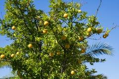 Limoni che crescono in un giardino a Perth, Australia occidentale Immagini Stock Libere da Diritti