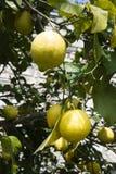 Limoni del ramo sull'albero Fotografie Stock Libere da Diritti