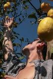 Limoni di raccolto dell'agricoltore Immagini Stock