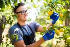 Limoni di taglio dell'agricoltore di un albero in pieno del raccolto maturo della frutta Fotografie Stock