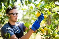 Limoni di taglio dell'agricoltore di un albero in pieno di frutta matura Esamina har Fotografie Stock