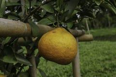 Limoni e limetta Immagini Stock