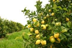 Limoni e più limoni Fotografia Stock