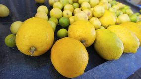 Limoni freschi dell'azienda agricola, Satara, stato della maharashtra Immagini Stock