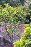 Limoni freschi su un albero Fotografie Stock