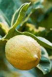 Limoni gialli. Immagini Stock