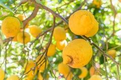 Limoni gialli che appendono sull'albero Limoni sull'albero in Italia, tipica Fotografia Stock Libera da Diritti