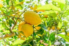 Limoni gialli che appendono sull'albero Struttura orizzontale con i limoni sopra Fotografia Stock