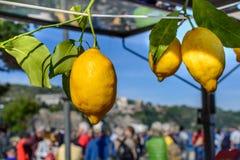 Limoni gialli che appendono sulla corda Primo piano orizzontale con i limoni Fotografia Stock Libera da Diritti