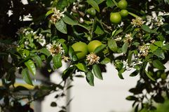 Lemon trees stock images