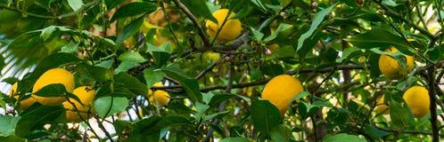 Limoni maturi che appendono sull'albero Fotografia Stock