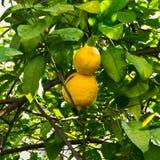 Limoni maturi che appendono sull'albero Fotografie Stock Libere da Diritti