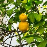 Limoni maturi che appendono sull'albero Fotografia Stock Libera da Diritti