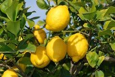 Limoni maturi freschi all'albero Fotografia Stock Libera da Diritti