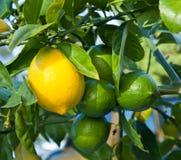 Limoni su un albero fotografie stock