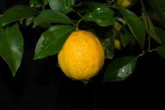 Limoni su un albero immagine stock libera da diritti