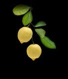Limoni sulla filiale fotografie stock