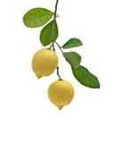 Limoni sulla filiale immagine stock libera da diritti