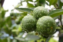 Limoni verdi freschi Fotografia Stock