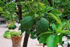Limoni verdi in un giardino Immagini Stock