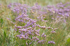 Limonium binervosum, Stock Photo