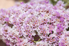 Limonium papillatum Stock Photo