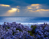 Limonium perezii Lilac Statice Sea Lavender. Limonium perezii ~ Lilac Purple Statice Sea Lavender Growing On Pacific Ocean Bluff At Sunset, God Rays Beaming Royalty Free Stock Photo