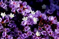 Limonium perezii, Perez`s sea lavender Royalty Free Stock Photo