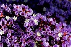 Limonium perezii, Perez`s sea lavender Stock Photo