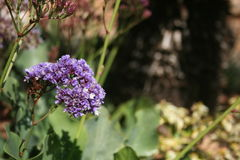 Limonium Perezii Royalty Free Stock Images