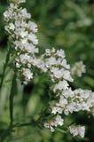 Limonium sinuatum bianco Immagini Stock