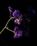 Limonium sinuatum Statice Salem flower isolated on black Royalty Free Stock Photos