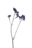 Limonium sinuatum Statice Salem flower isolated on white backgro Royalty Free Stock Photography