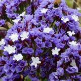 Limonium sp.,flower Royalty Free Stock Photos