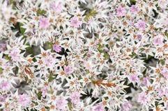 Limonium tataricum Stock Images